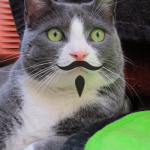 Grey tuxedo cat with a moustache