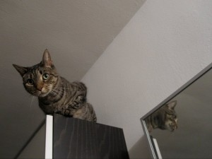 Kip the tabby cat high up on a bookcase