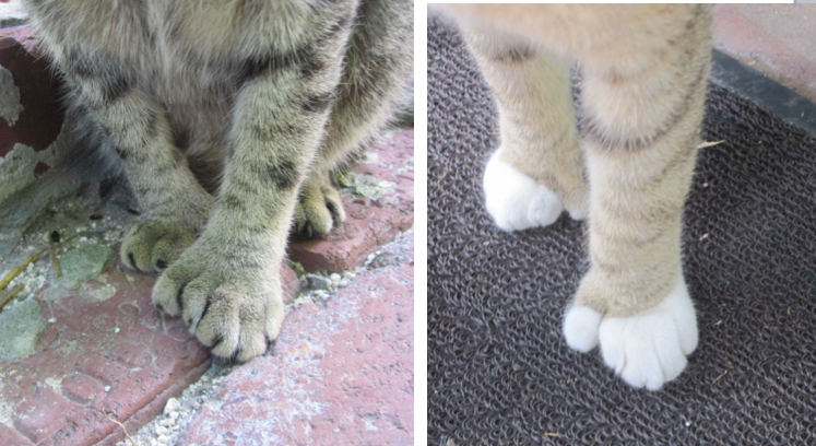 Kitten Mittens! For those who aren't aware, Hemingway cats are known for being polydactyly
