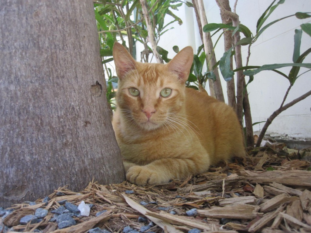 Orange cat at Hemingway House