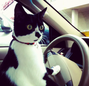 black and white cat drives car