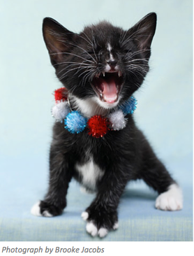 4th of July Kitten