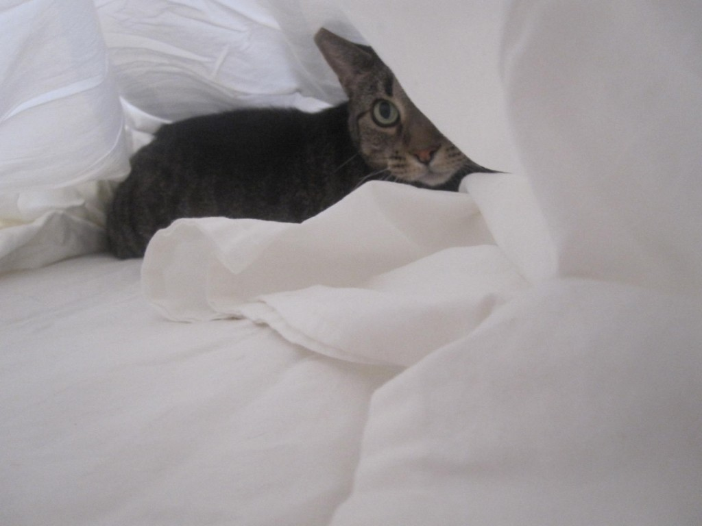 cat with white sheets