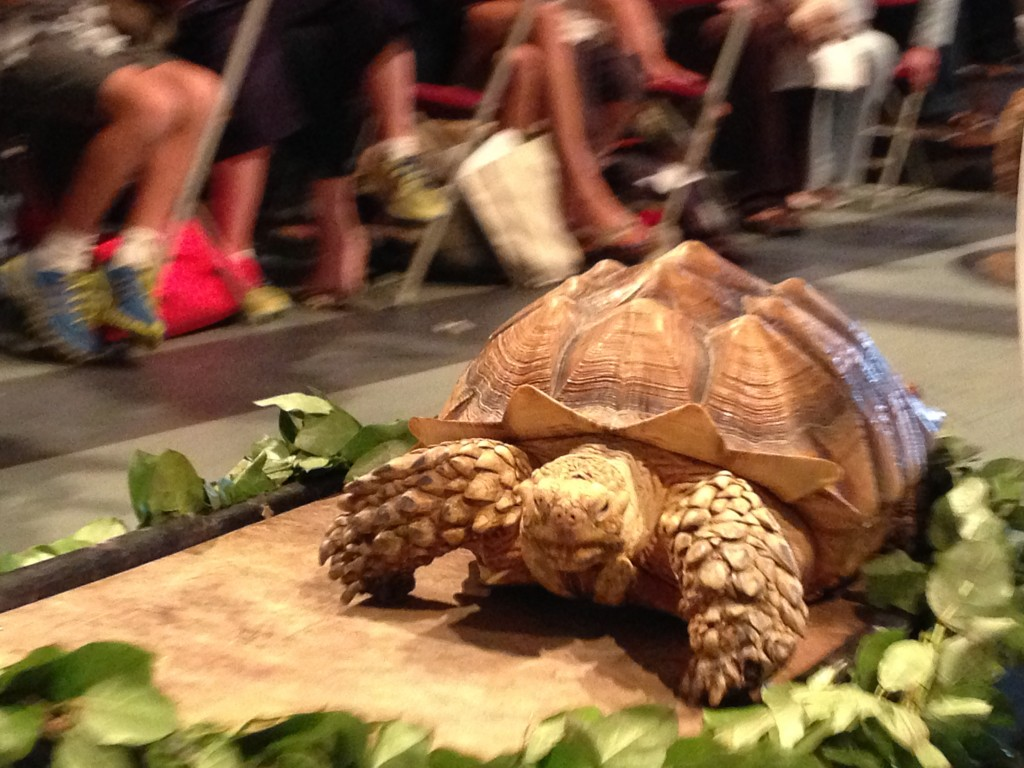 Tortoise at Saint Francis Blessing of The Animals