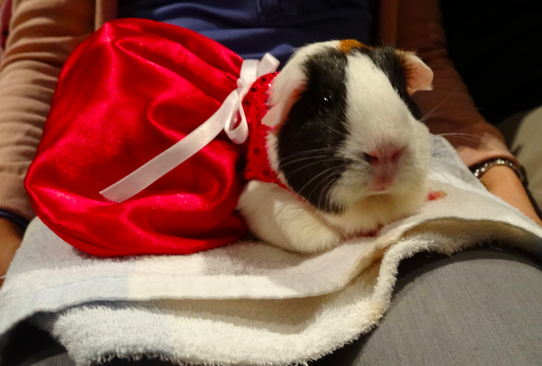 One very well dressed Guinea Pig