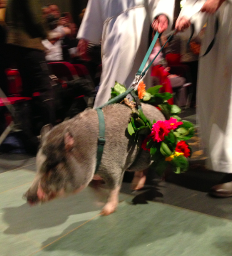 Saint Francis Blessing of the Animals, Saint John The Divine 2013, pig
