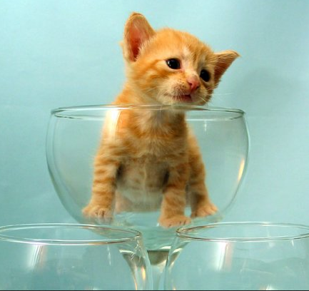kitten in wine glass