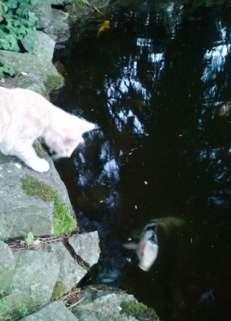 Tracy Vrana's cat Milo at Koi pond
