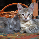 Haddie (right) as a kitten before I met her, with her sister Nattie (now Birdie and living the life with my sister!)