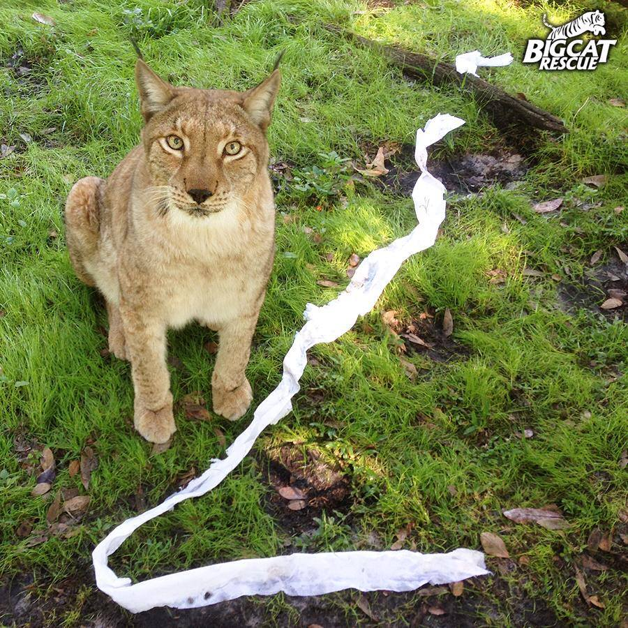 Looks like big cats like TP too!