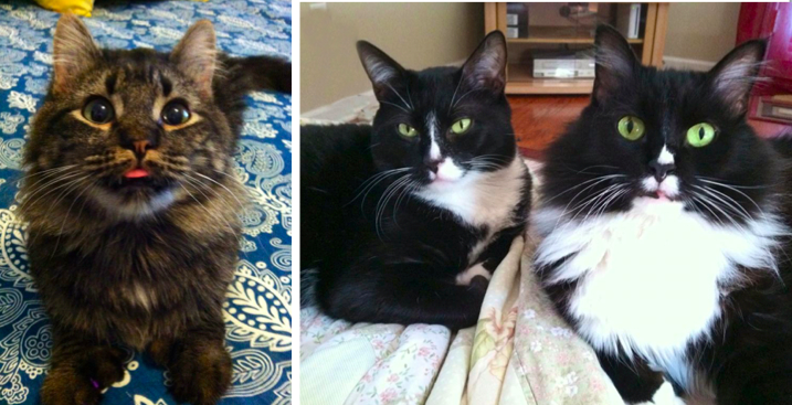 Lennie (l), Bo and Reggie (R) all live together - wow! Three Gemini cats in one home!