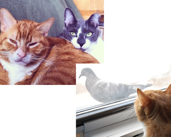 """Sleep ginger President Chester, and VP Mochi (upper left); Chester eyeing a """"tweet,"""" but not THE """"TWEET""""!"""