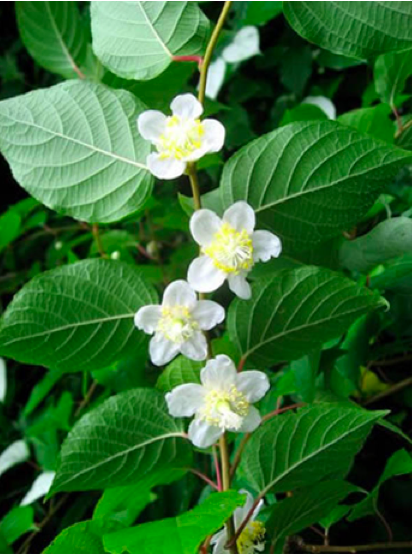 Silvervine comes from a traditional non-toxic Chinese and Japanese plant  (source: felinesilvervine.com)
