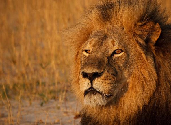Cecil the Lion, a tagged lion, being studied by Oxford University who was killed for his head and pelt by an American.