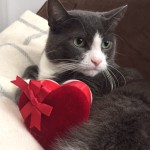 cat suitor on Valentine's Day