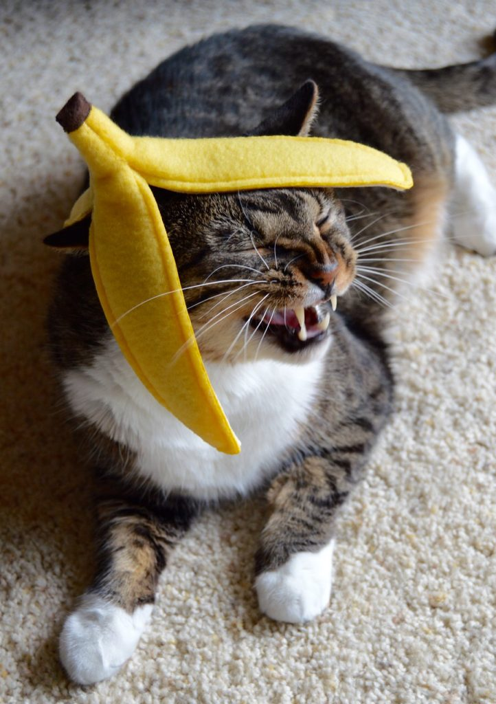 One of my three cats Dexter modeling a banana peel catnip toy
